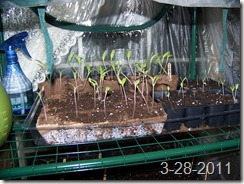 green house 2.5  weeks 001